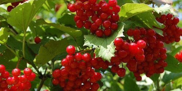 Грозди красной калины на дереве