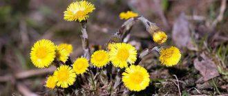 Растение мать-и-мачеха от кашля
